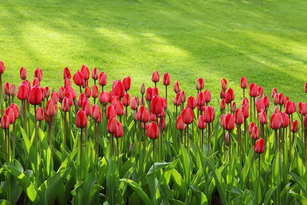 tulips in march springtime